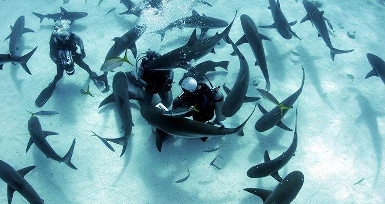 Diver swimming with sharks © Amanda Nicholls/Shutterstock.com