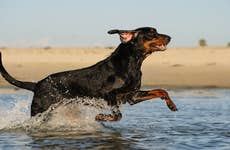 Coonhound running in water