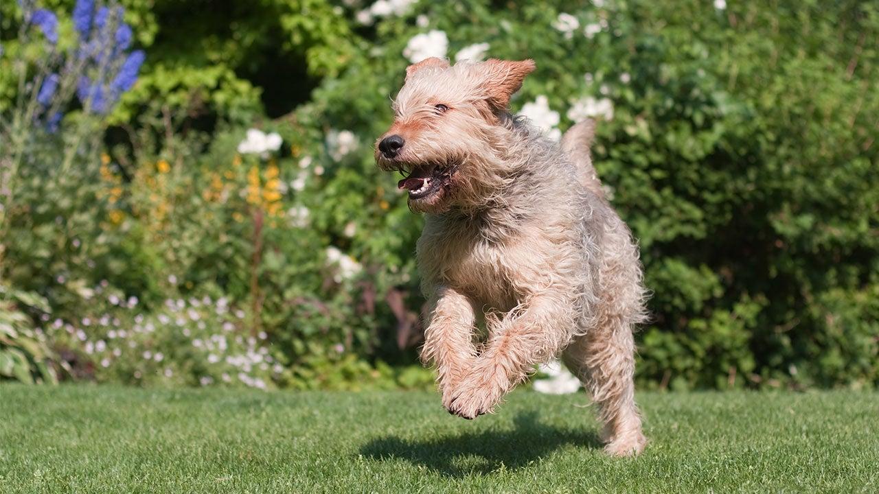 Otterhound running
