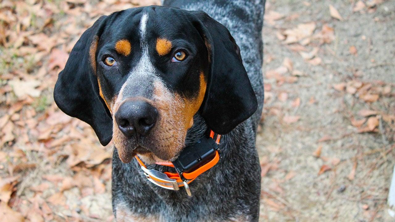 Blue tick Coonhound