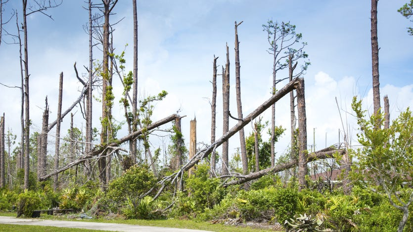A row of trees after a terrible hurricane. You can see some of the thin trunks are bent and broken while others are without branches or leaves.