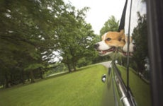 dog sticking out of car window