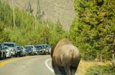 Buffalo Traffic in Yellowstone