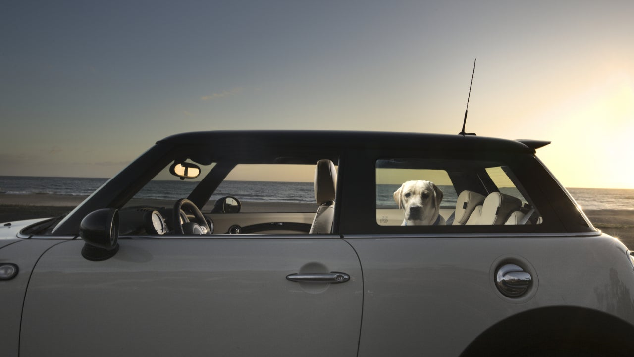 Dog sitting in back of Mini Cooper