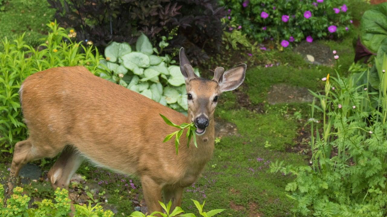 Male deer eating in garden
