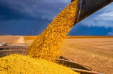Soybeans rain down from a truck's chute